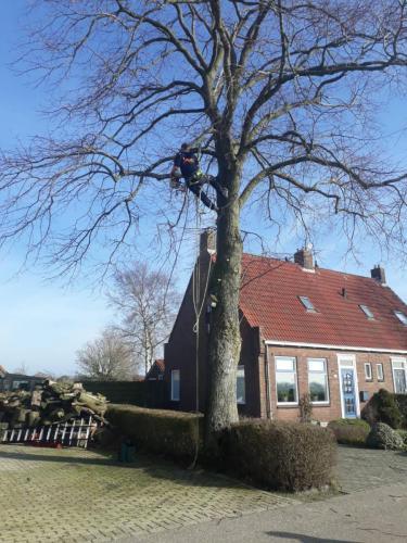 jorrit-hoekstra-boomverzorging-boom-uitdunnen